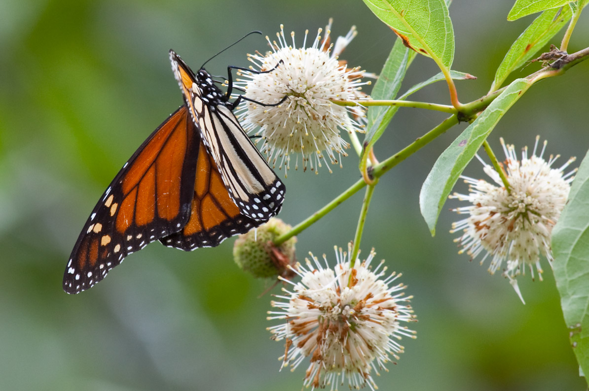 Monarch Butterfly in the Boxley Valley