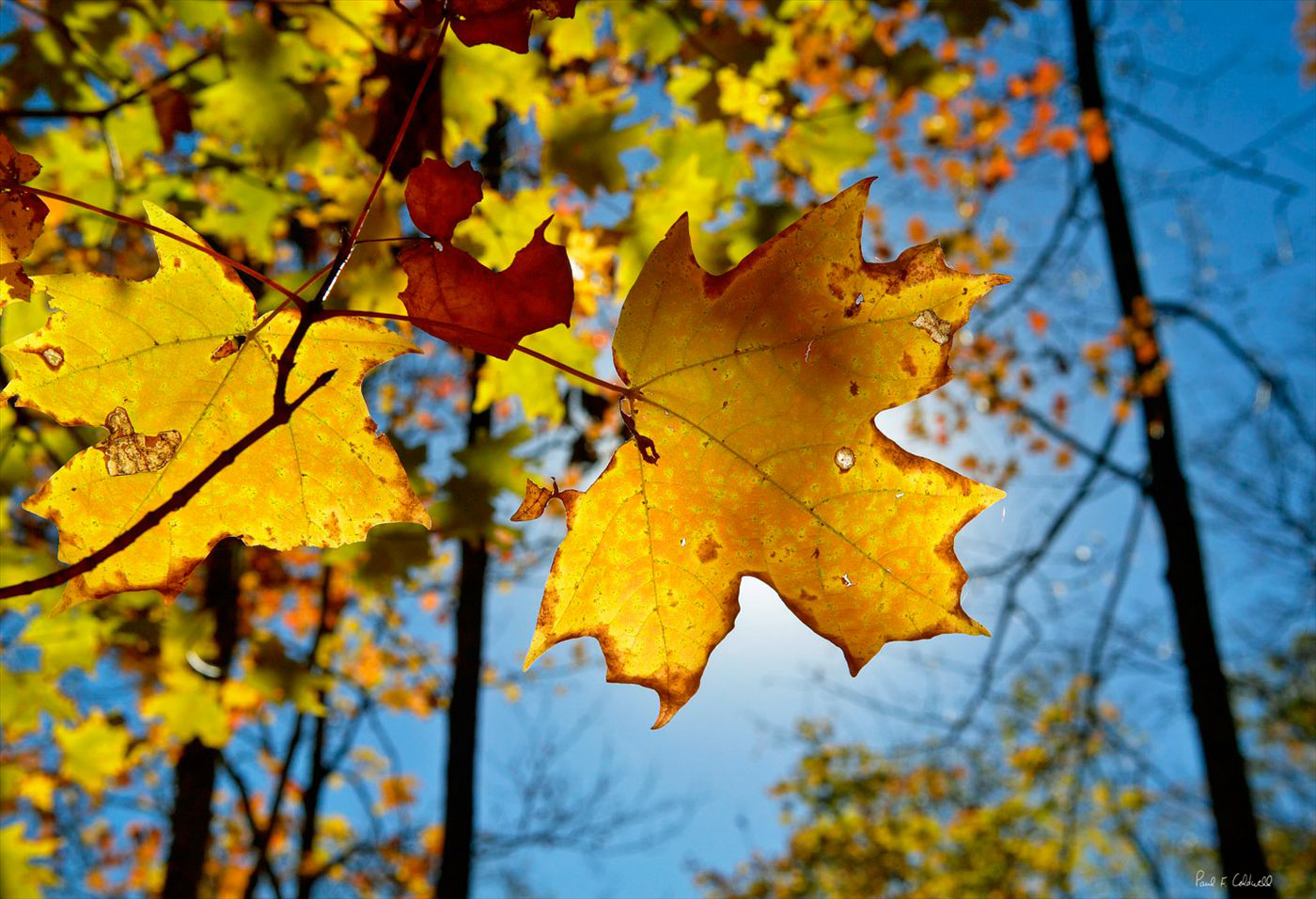 Maple leaf in the sun, Cossatot River area Ouachita Mountains Arkansas