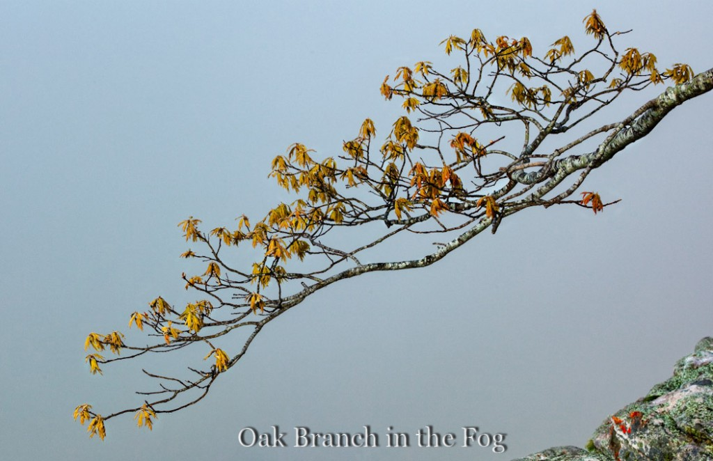 Oak Branch in the Fog on Roark Bluff